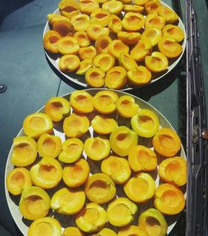 drying-apricots