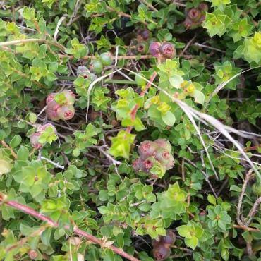 muntrie-berries